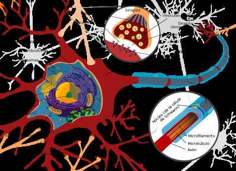 Partes_de_una_neurona,_diagrama
